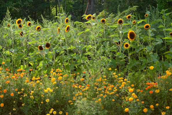 Ray Bradley's sunflowers